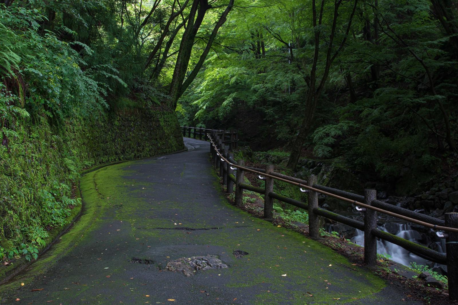 「苔生す歩道沿いを流れる小川」の写真