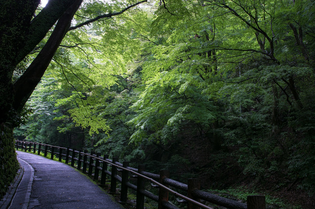 新緑の散歩道の写真