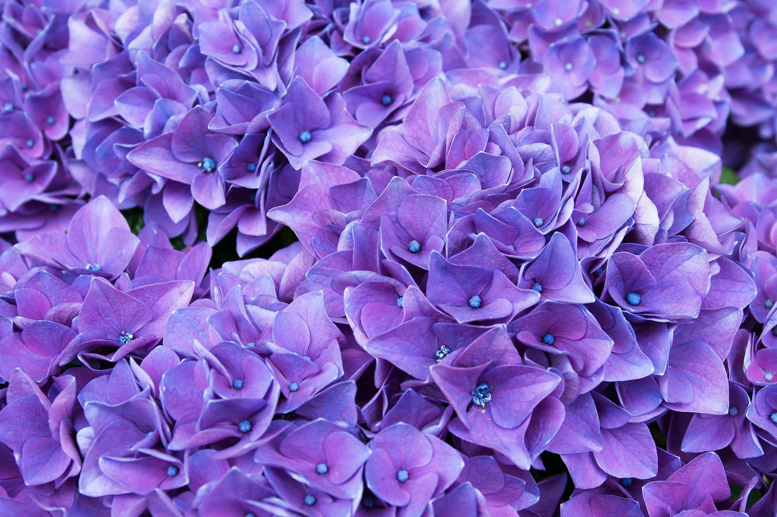 「満開の紫陽花(ハワイアングレープ)」の写真