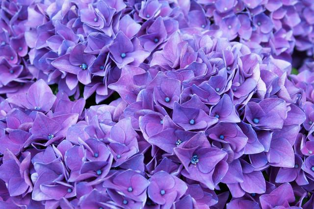 満開の紫陽花(ハワイアングレープ)の写真