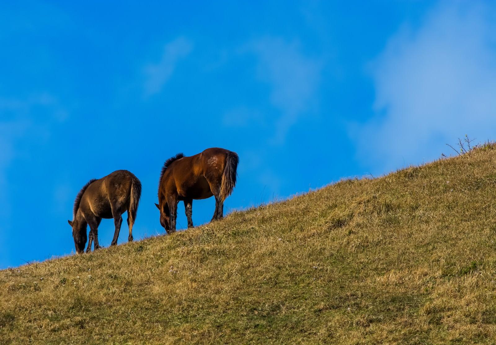 「寒風の中草を食む馬」の写真
