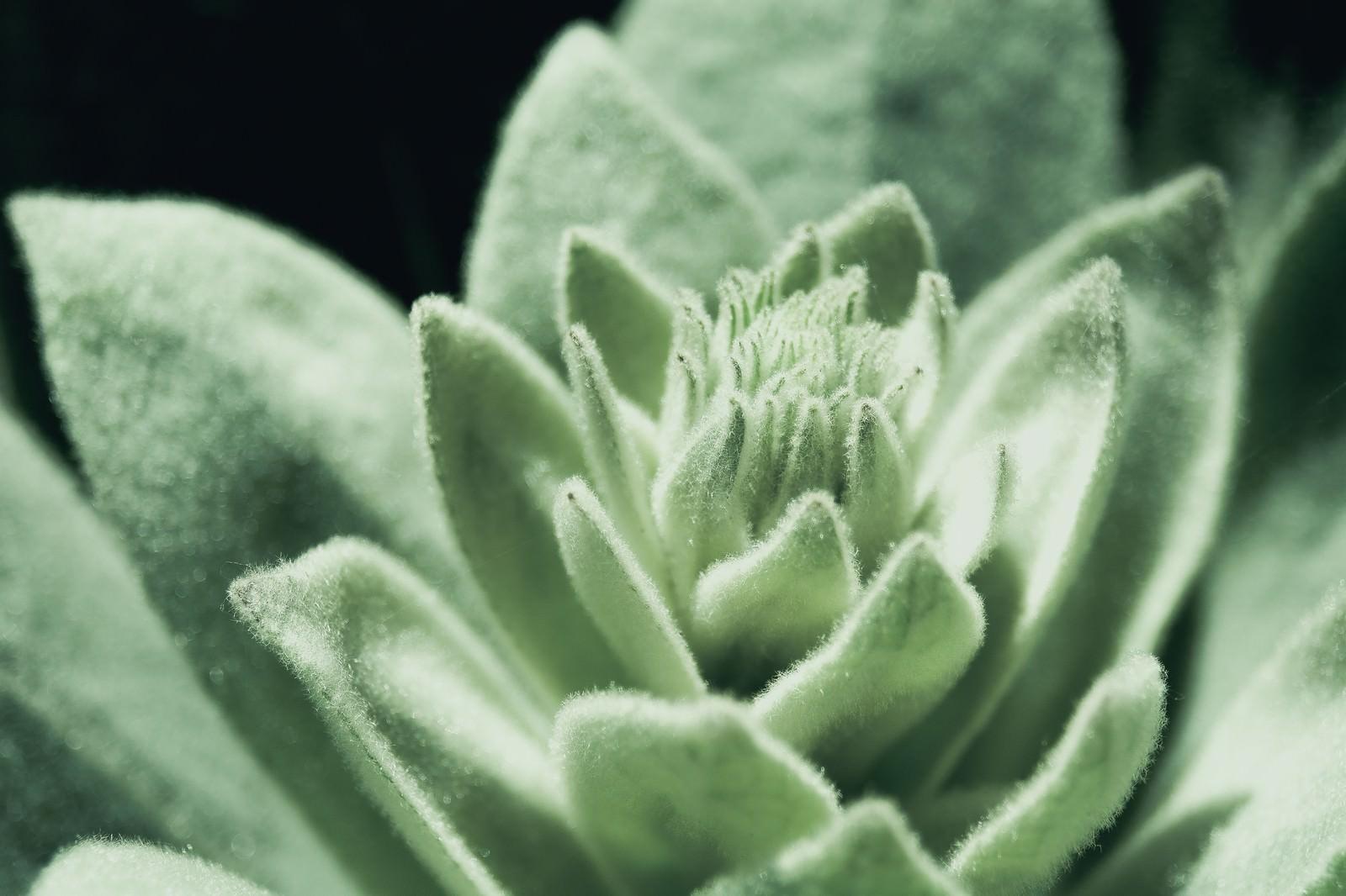 バラの形の多肉植物