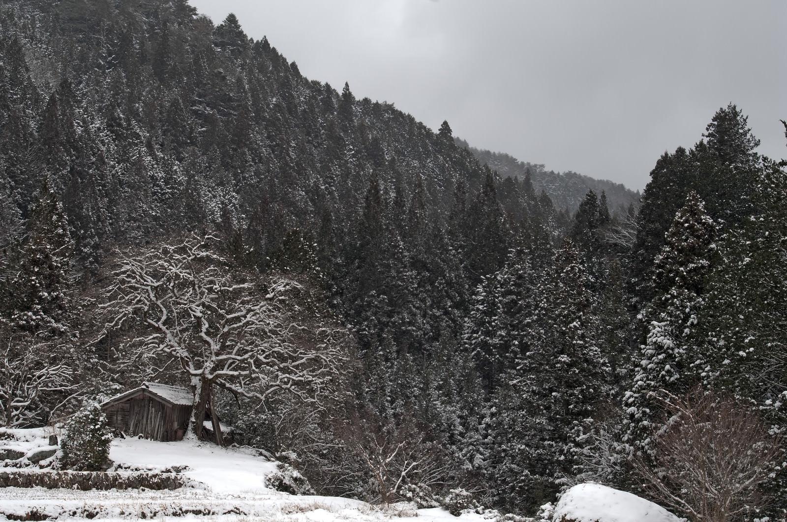 「雪が積もる根羽村の老いた柿の木と古い小屋」の写真