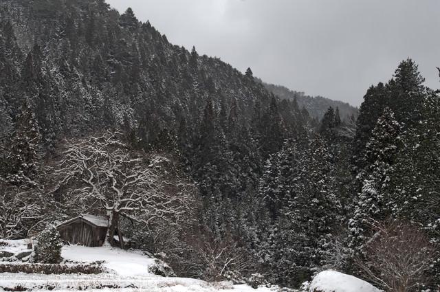 雪が積もる根羽村の老いた柿の木と古い小屋の写真