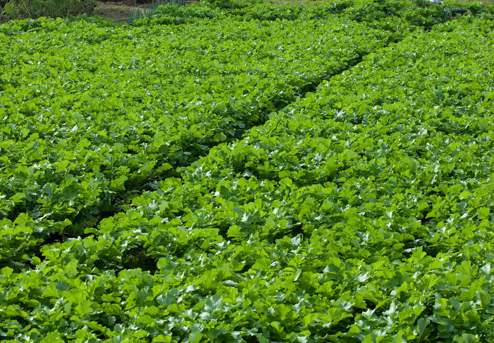「一面の大根畑」の写真