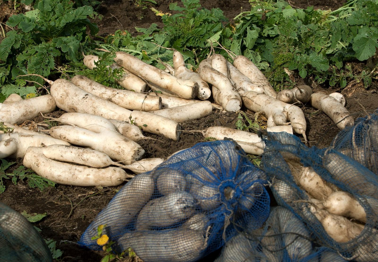 「畑で選定された大根」の写真