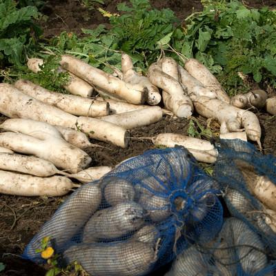 「畑で選定された大根」の写真素材