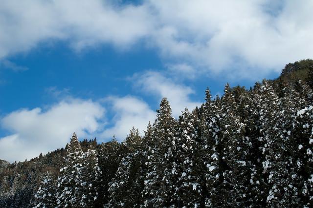 雪の残る杉林の写真