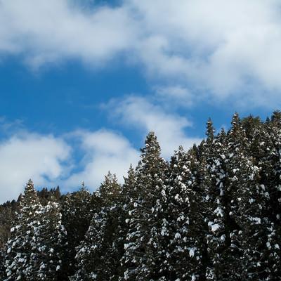 「雪の残る杉林」の写真素材