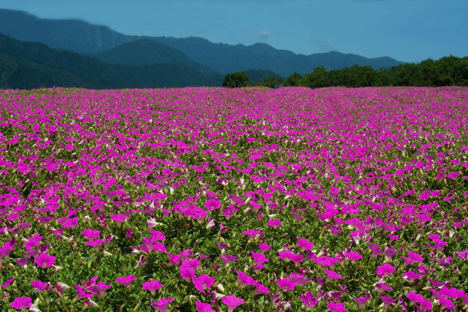 「目前に広がる雄大な山々とペチュニアの絨毯」の写真