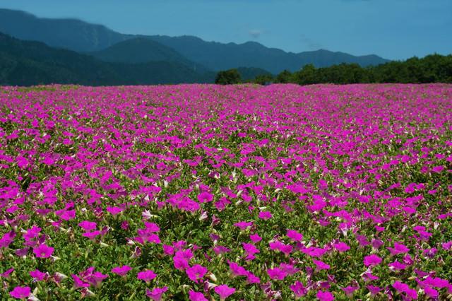 目前に広がる雄大な山々とペチュニアの絨毯の写真