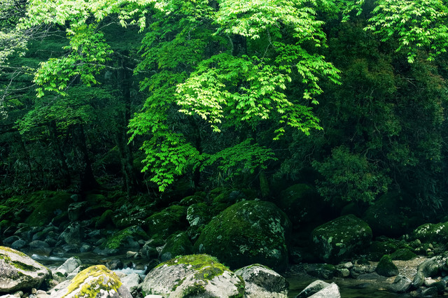 矢作川源流沿いの森(長野県根羽村)の写真