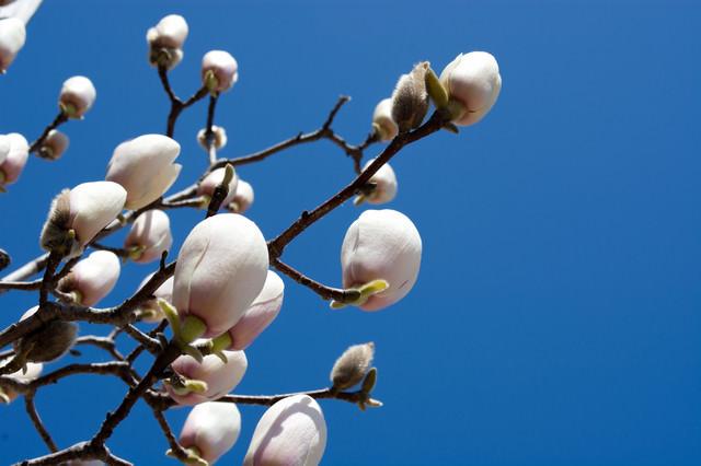 木蓮のつぼみの写真
