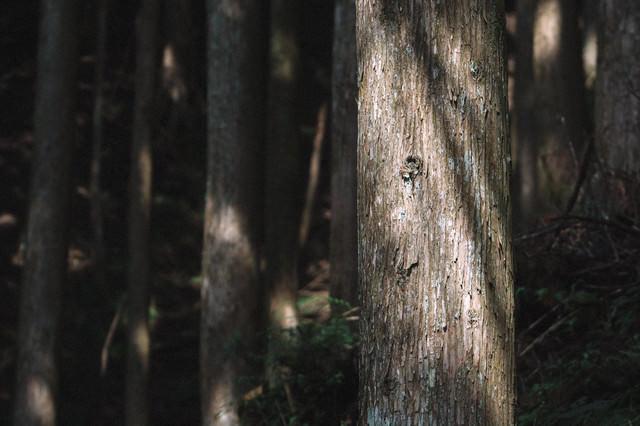 杉木立の写真