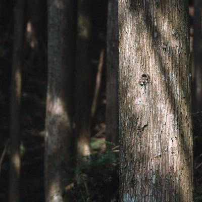 「杉木立」の写真素材