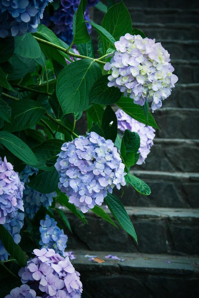 階段と紫陽花の花房の写真