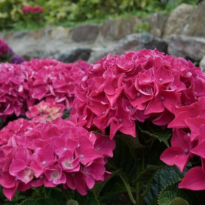 色鮮やかに咲く紫陽花の写真