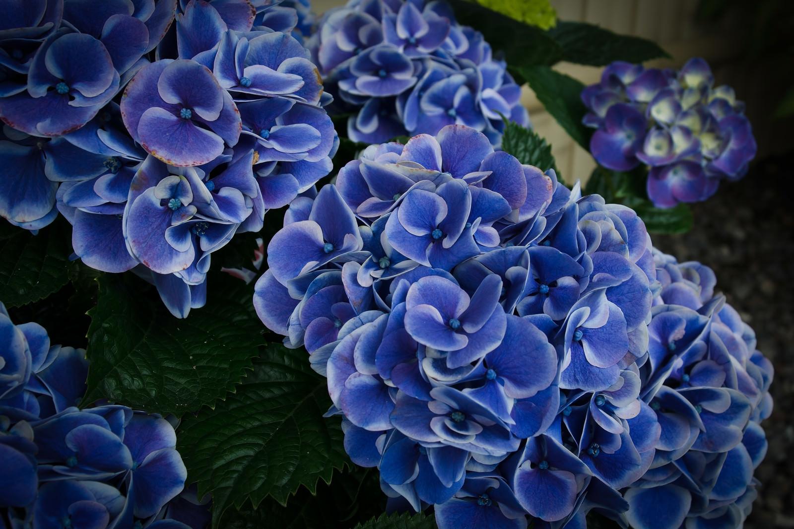 「痛んだ花びらと紫陽花の花房(スターラインマース)」の写真