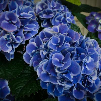 痛んだ花びらと紫陽花の花房(スターラインマース)の写真
