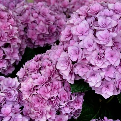 鮮やか紫陽花の写真