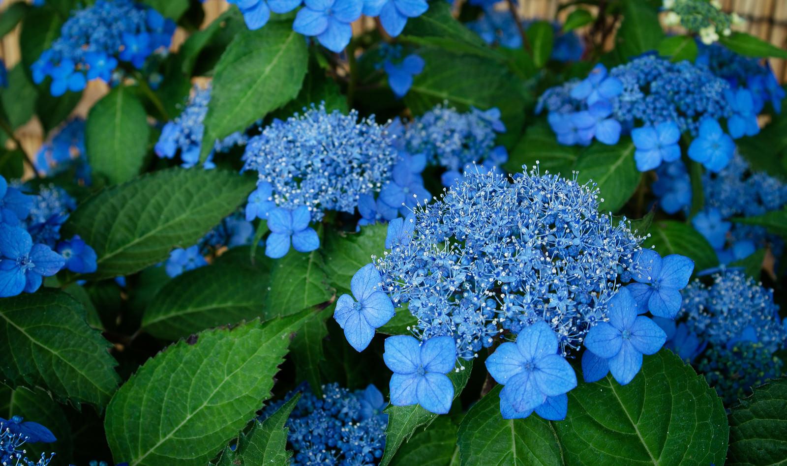 「美しい青色の花をつける紫陽花(藍姫)」の写真