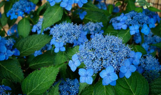 美しい青色の花をつける紫陽花(藍姫)の写真