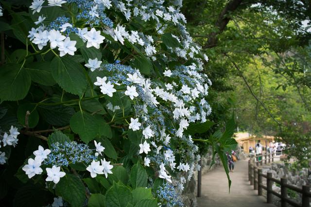 遊歩道に咲くアジサイの写真