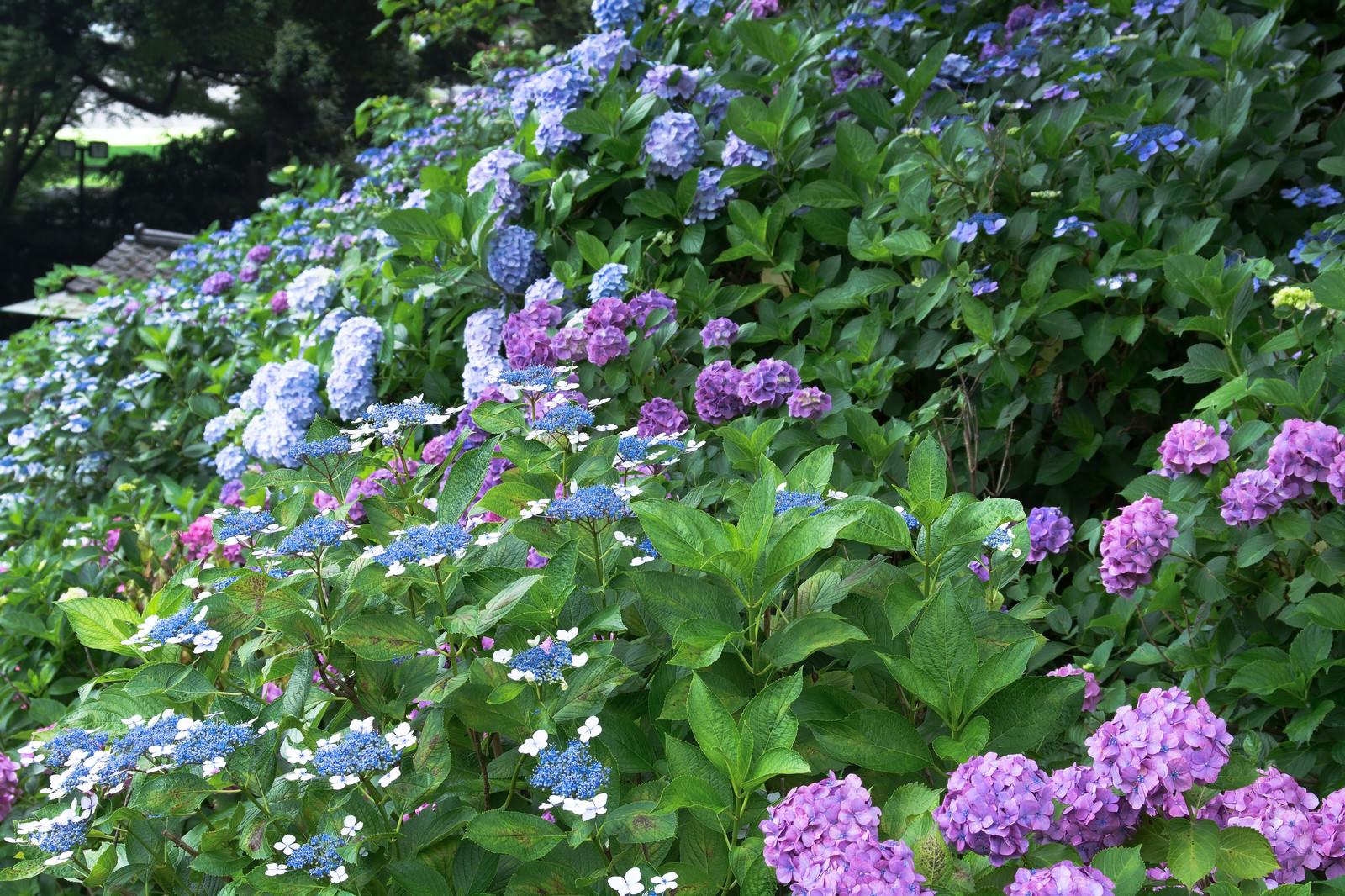 「斜面を埋める色とりどりの紫陽花」の写真