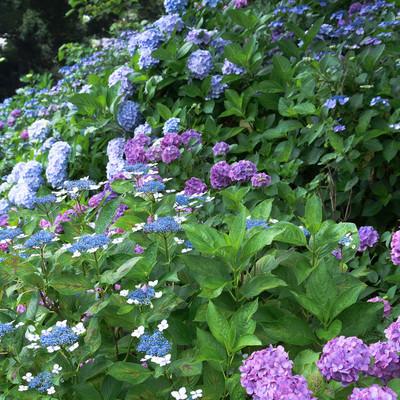 斜面を埋める色とりどりの紫陽花の写真