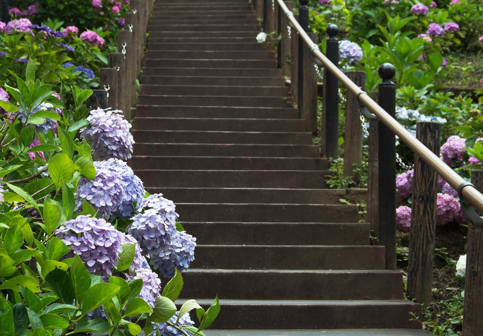 「階段沿いに彩る紫陽花」の写真