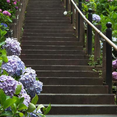 階段沿いに彩る紫陽花の写真