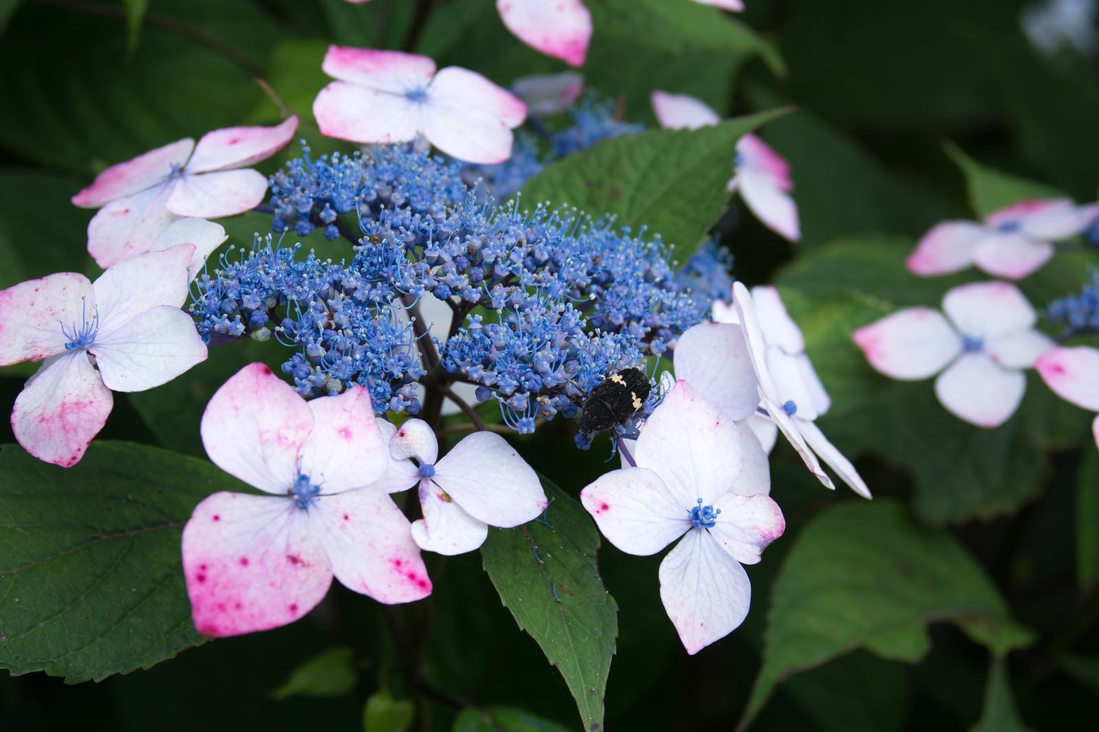 「蜜を求める虫と紫陽花」の写真