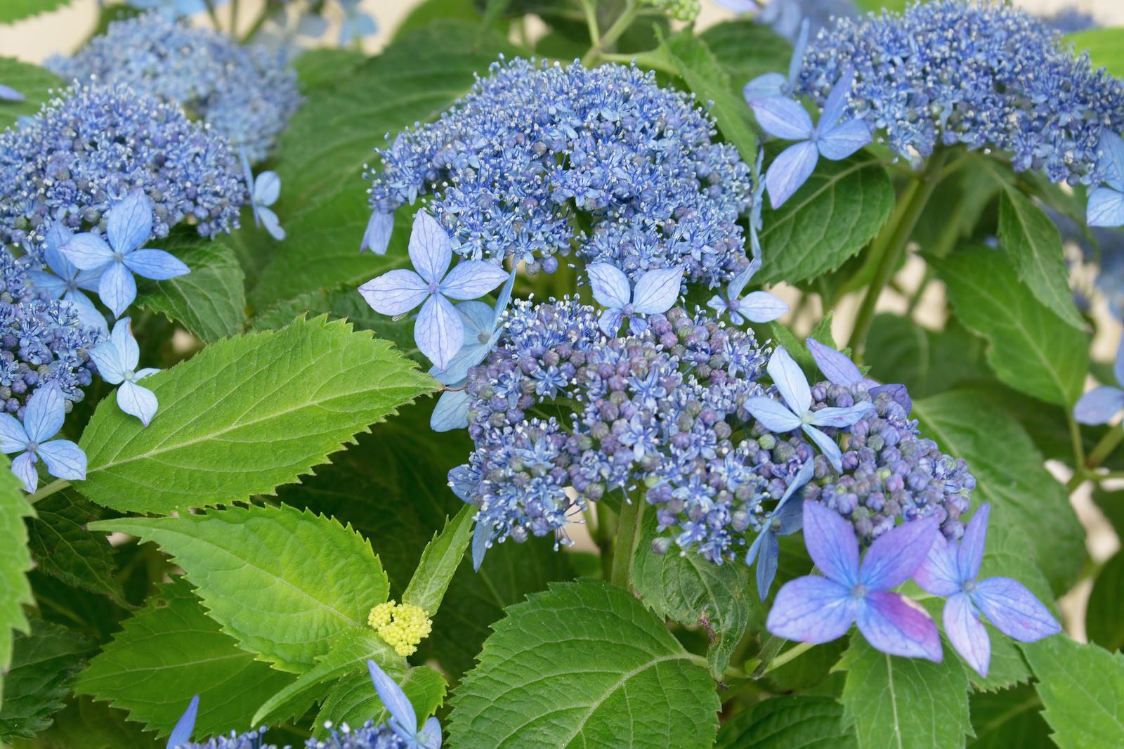 「青紫色のガクアジサイ」の写真