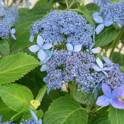 青紫色のガクアジサイの写真