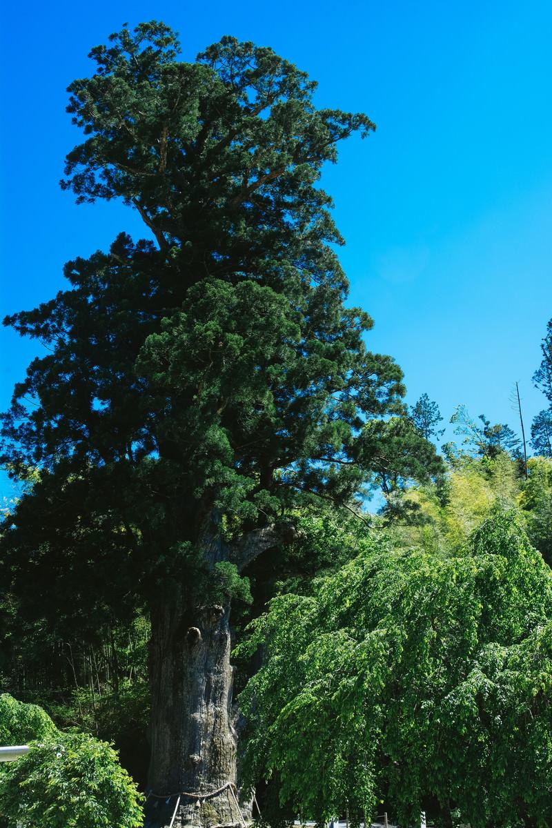 「神木月瀬の大杉(長野県根羽村)」の写真