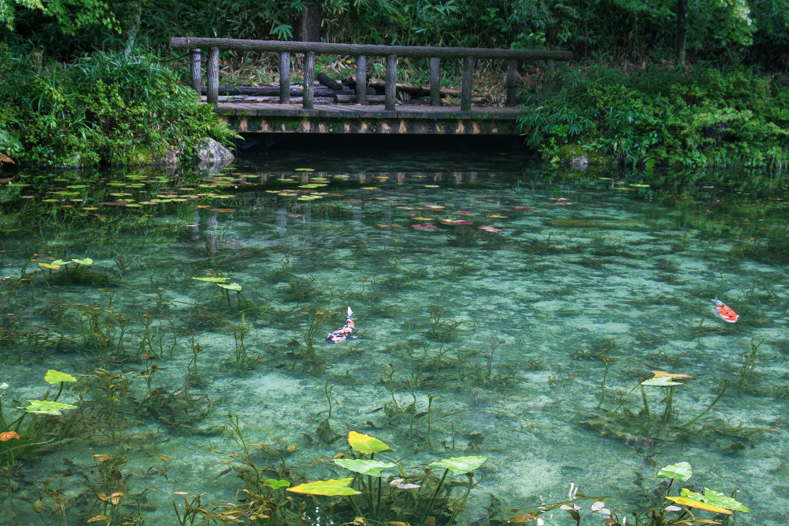 「透明度の高いモネの池と鯉(岐阜県関市板取白谷)」の写真