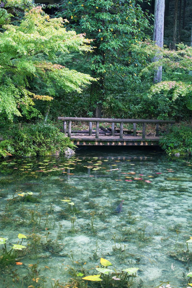 「橋に集まる鯉とモネの池(岐阜県関市板取白谷)」の写真