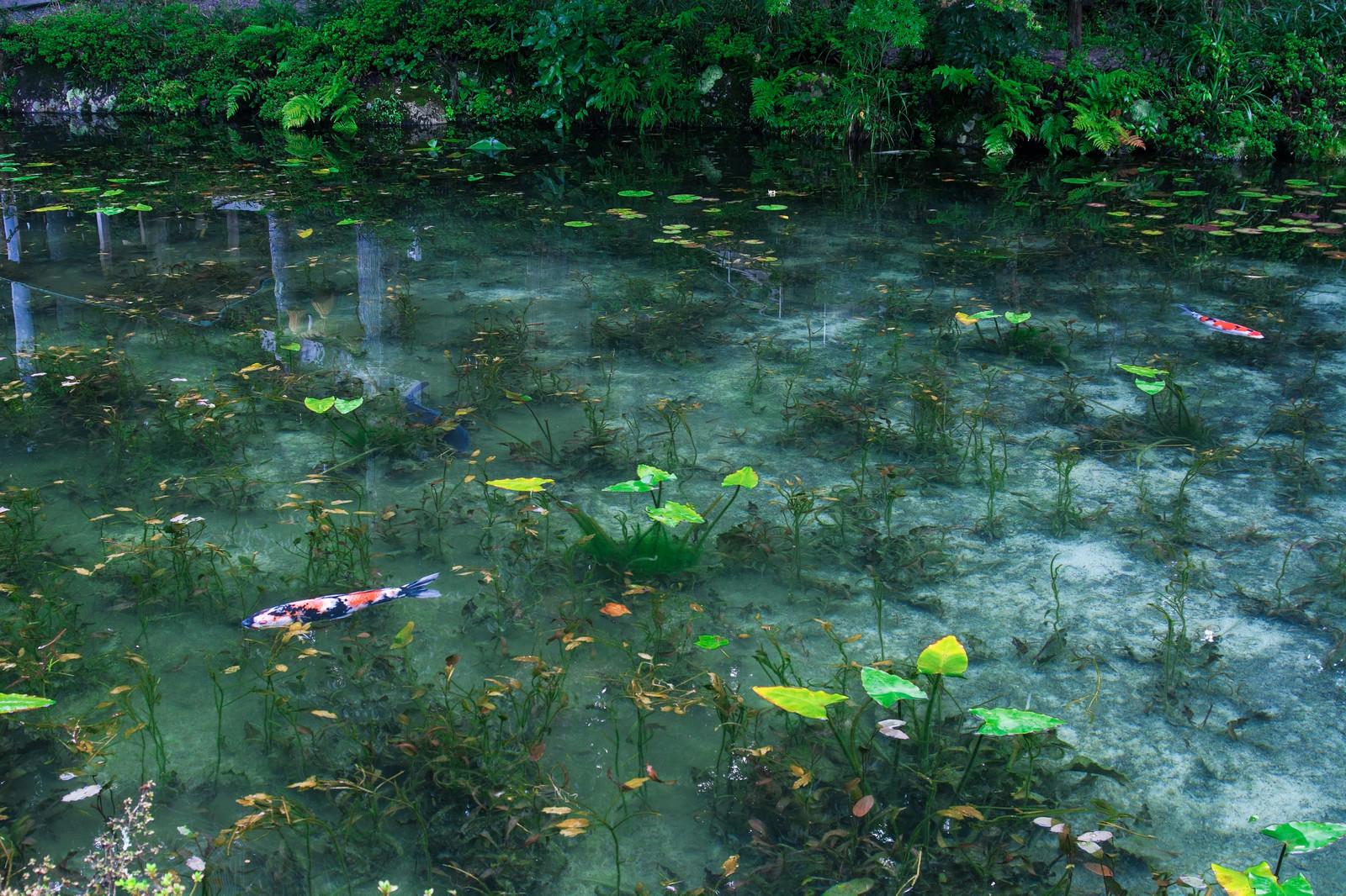 「根道神社の鳥居が映り込んだモネの池(岐阜県関市板取白谷)」の写真