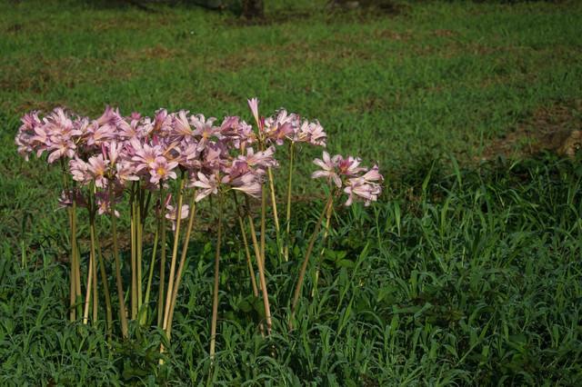 野に咲く夏水仙(ナツズイセン)の写真