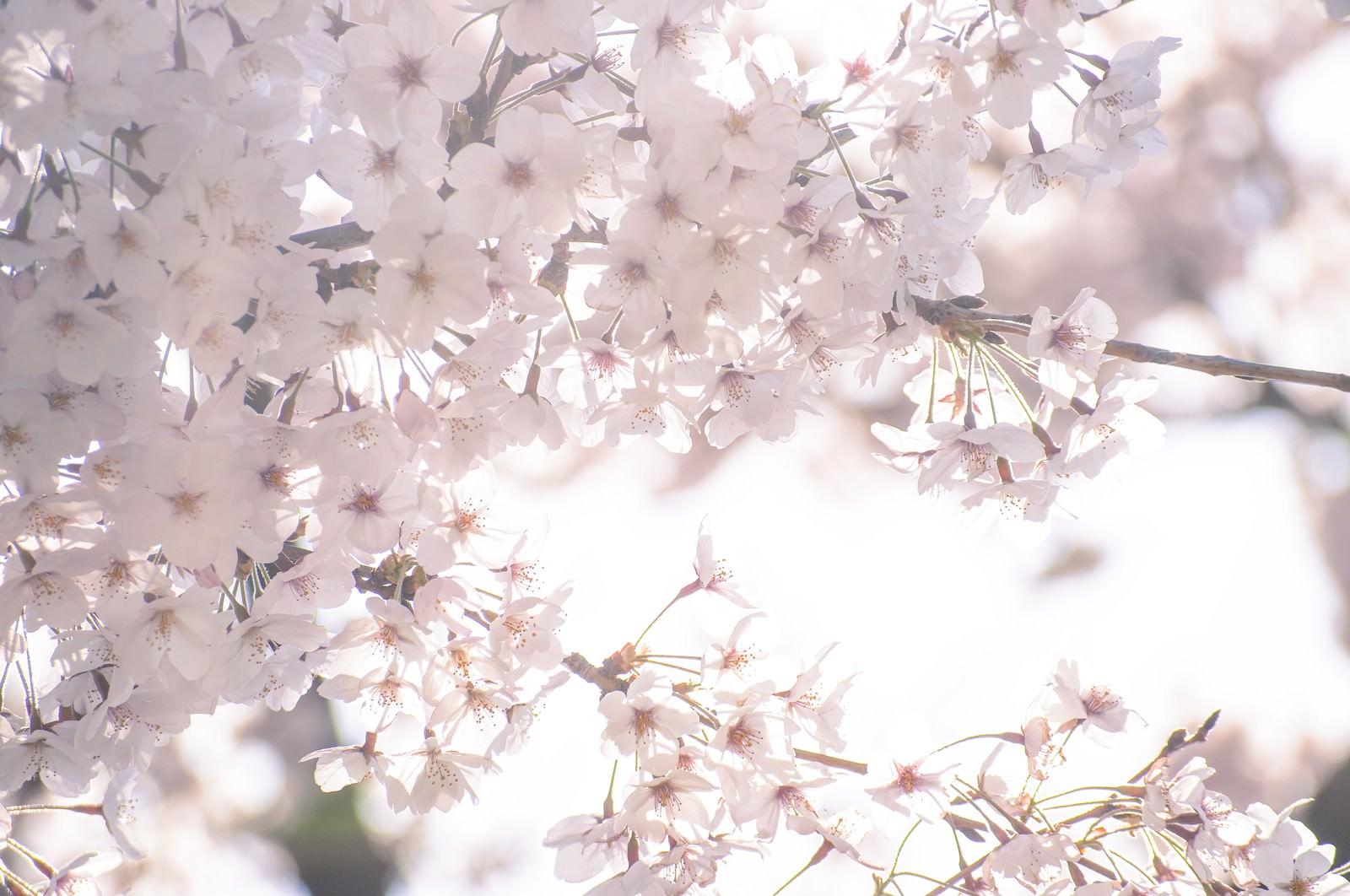 「うららかな春の桜」の写真