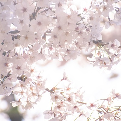 うららかな春の桜の写真