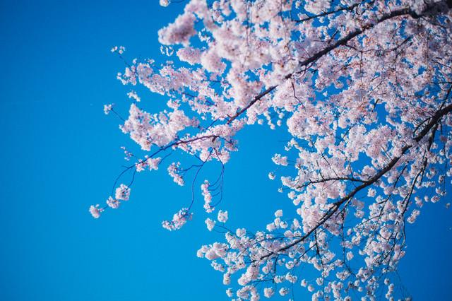 青空と満開の桜の写真