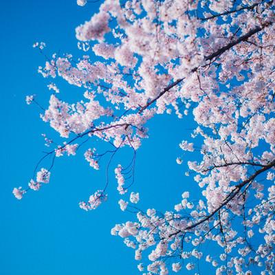 「青空と満開の桜」の写真素材