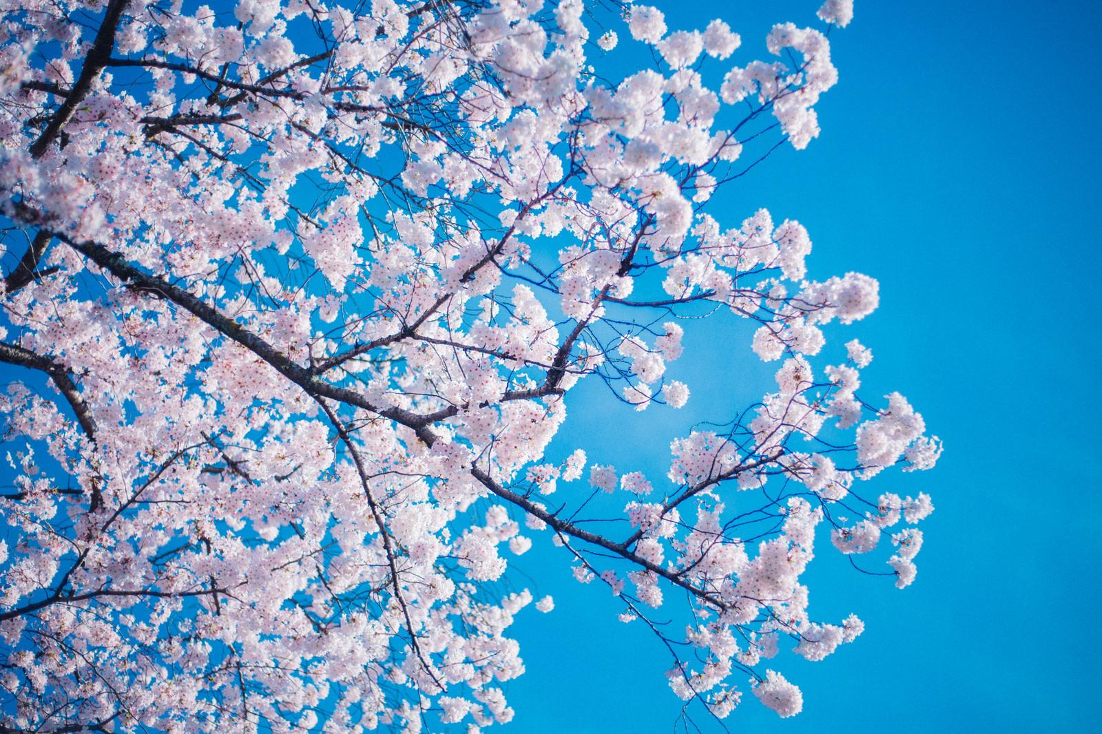 「桜(青空バック)」の写真