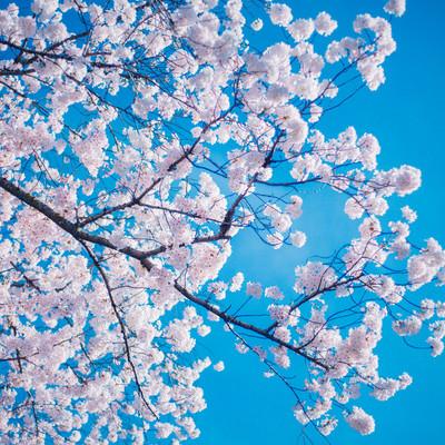 「桜(青空バック)」の写真素材