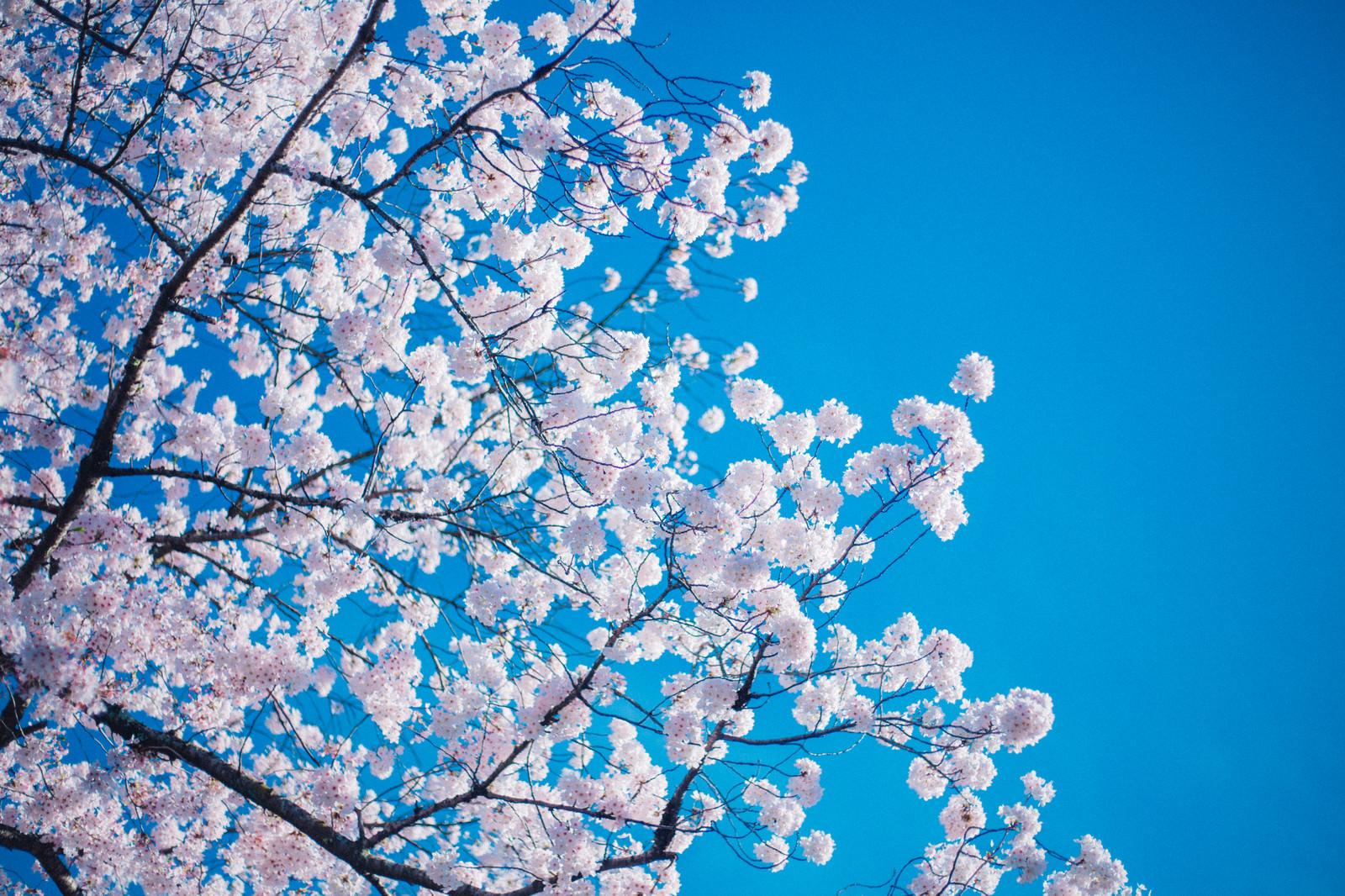 「桜の開花」の写真