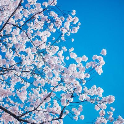 「桜の開花」の写真素材