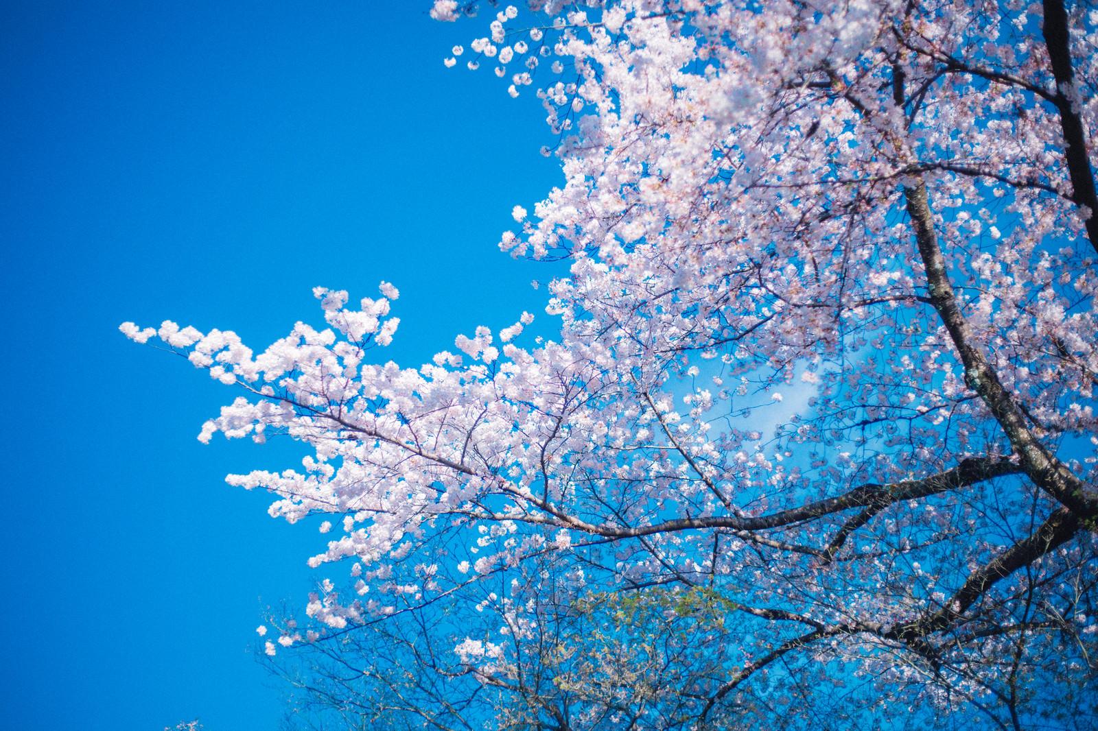 「桜の季節」の写真