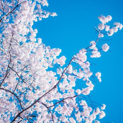 桜の木の写真