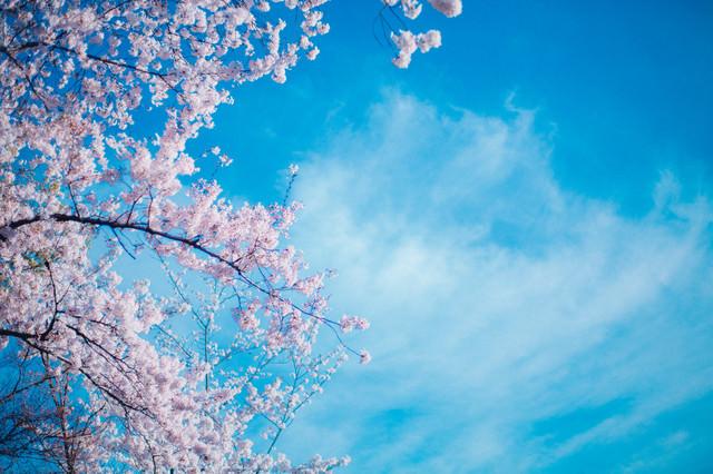 桜のシーズンの写真